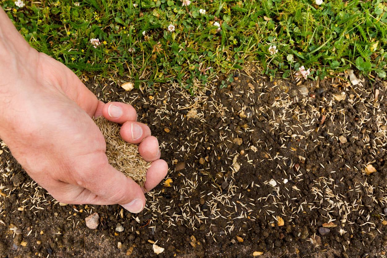 Plantar césped natural