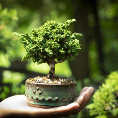 Cómo cuidar un bonsái: 5 consejos clave