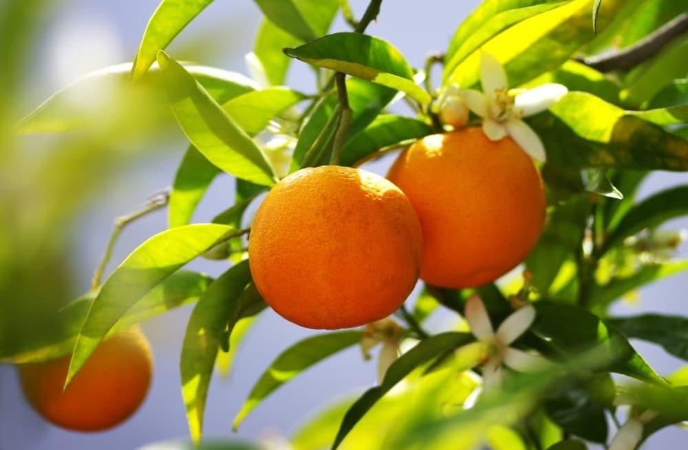 cómo podar un árbol frutal herramientas